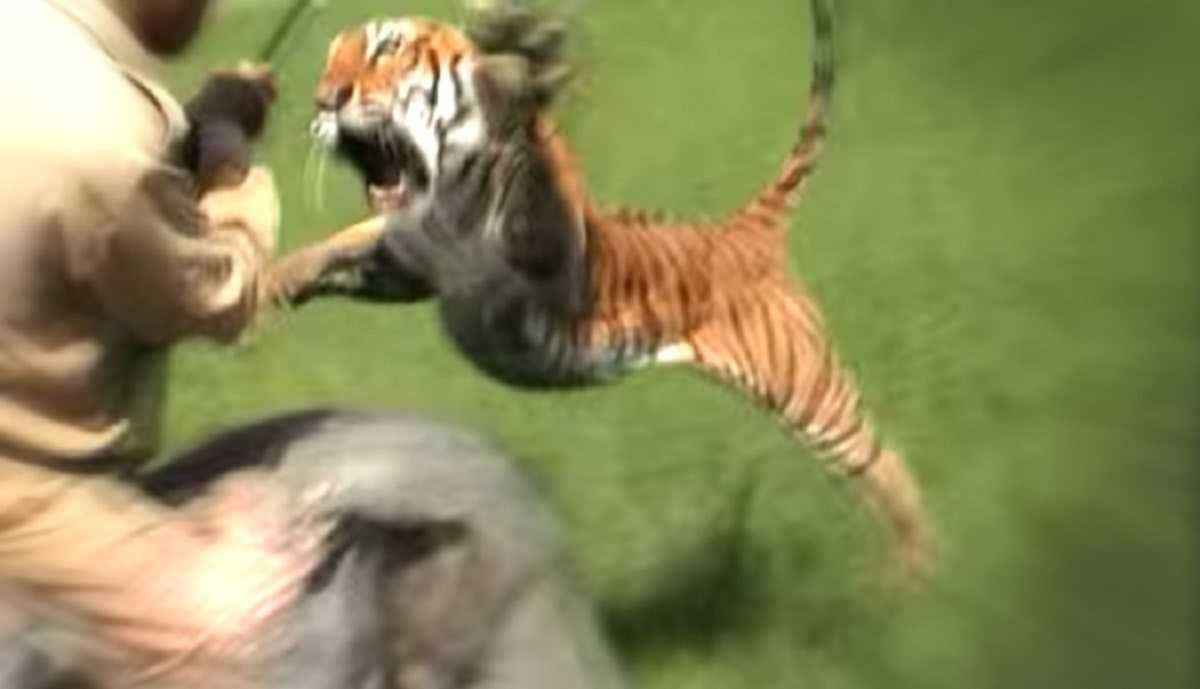 tigers attacking