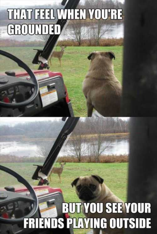 pug wants to play with deer
