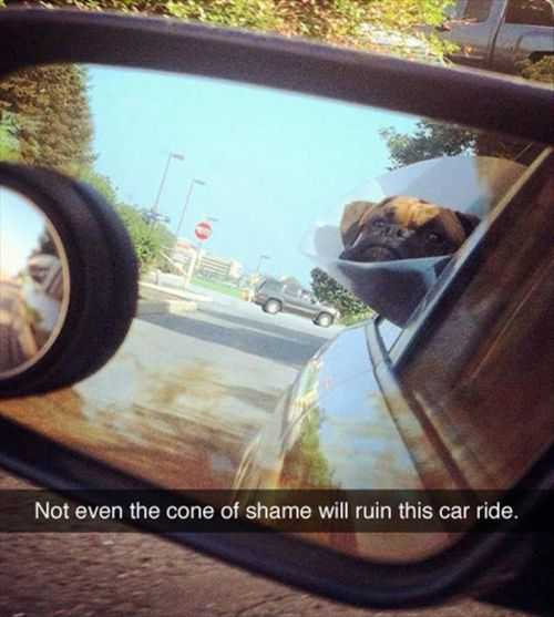 pug wearing the cone of shame enjoying his car ride