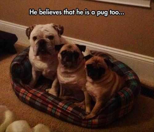 he beleives he is a pug. bulldog thinks he is a pug