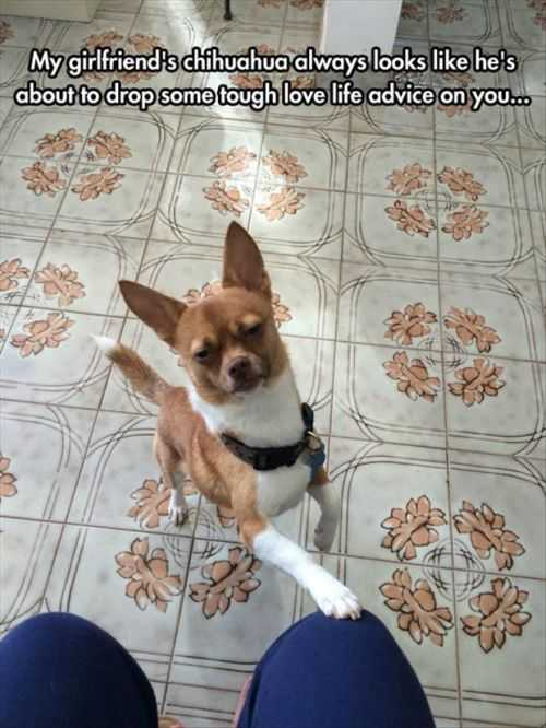 my girlfriends chihuahua giving tough love advice