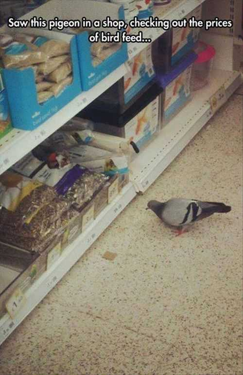 pigeon checking out the bird food