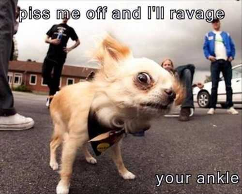 piss me off and i will ravage your ankle. funny mean little dog The Funniest Pictures Of The Week