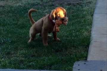 puppy takes toy outside to the bathroom. funny puppy
