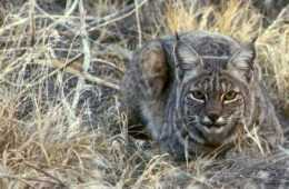 bobcat attacks turkey hunter caught on camera video featured