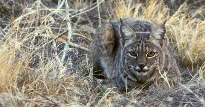 bobcat attacks turkey hunter caught on camera video featured