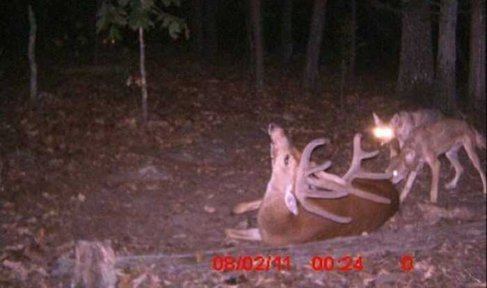 Crazy Trail Cam Pictures (6)