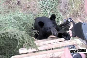A Black Bear Chews On This Hunter's Rifle video featured