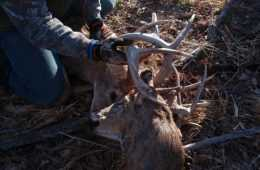 Buck Found Carrying The Head Of It'S Dead Rival Video Featured