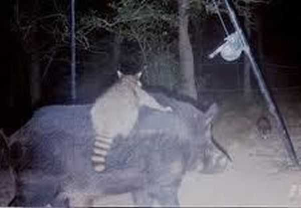 Funny and crazy trail cam pictures 008