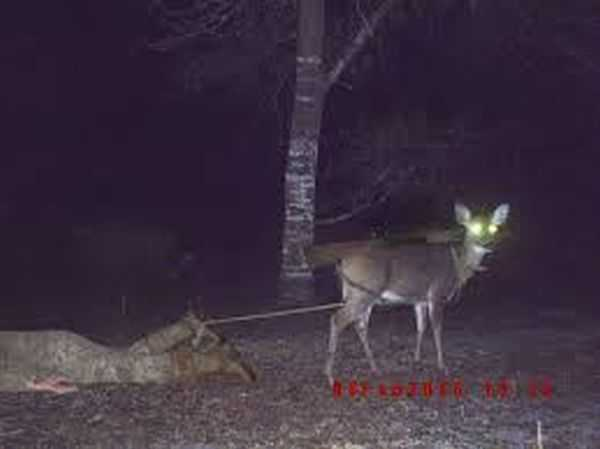 Funny and crazy trail cam pictures 020