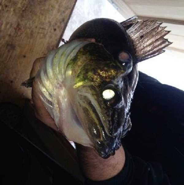 "three eyed walleye from Lake Nipssing - ""Three-Eyed Louie"" pictures"