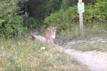 Guy Comes Face To Face With A Mountain Lion featured