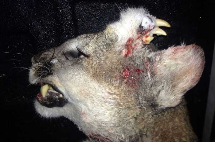 Idaho Hunter Harvests An Oddly Deformed Mountain Lion pictures 001