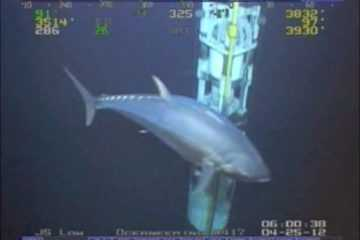 Monster Tuna Caught On Camera - Is It Actually 18 Feet Long?