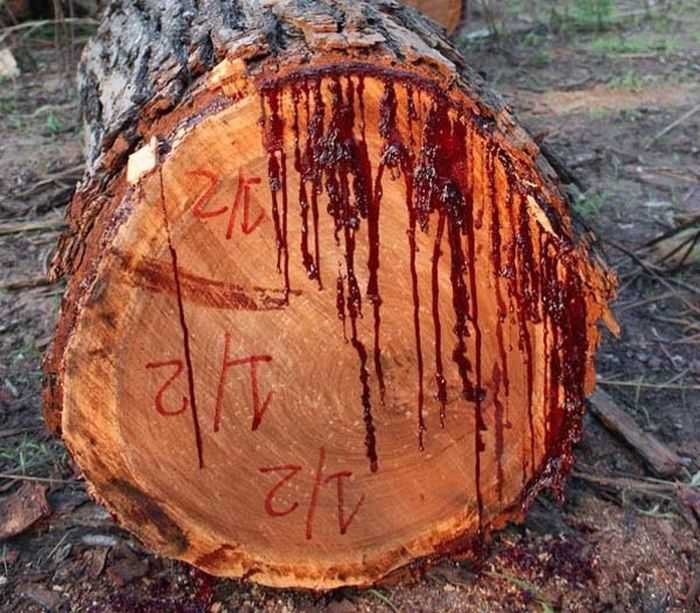 bloodwood tree pictures 001