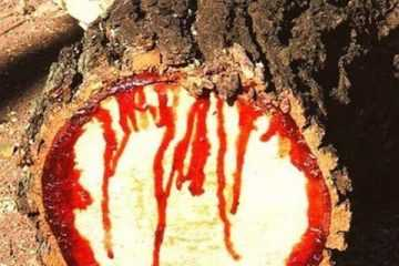 bloodwood tree pictures