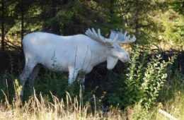 All White Albino Bull Moose Featured