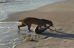 Florida Bobcat Catches A Shark