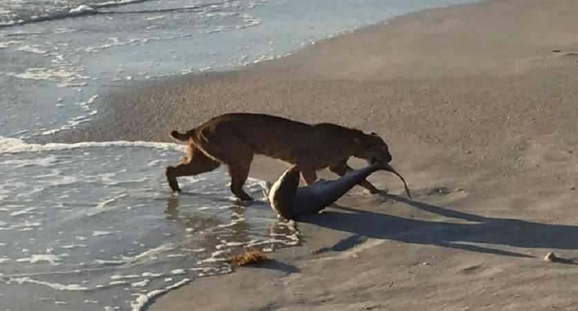Florida Bobcat Catches A Shark