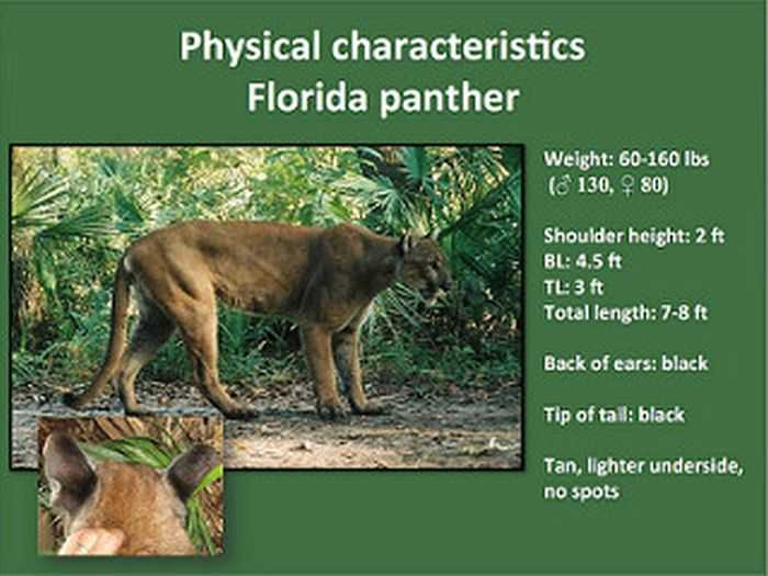 the betrayed florida panther essay Science essays: florida panther florida panther this research paper florida panther and other 63,000+ term papers, college essay examples and free essays are available now on.