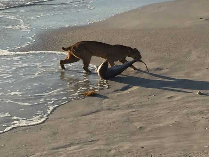 Florida Bobcat Catches A Shark pictures 004