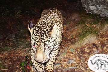 New Video Shows The Only Known Wild Jaguar In The United States featured