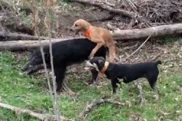 Worst Hunting Dog Ever This Dog Takes A Break To Hump A Hog featured 2