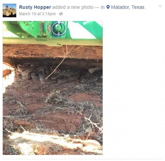 Texas Hunters Find 26 Rattlesnakes Under Their Deer Blind pictures 001