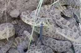 This Is What Happens When You Stick Your GoPro Into A Rattlesnake Den featured