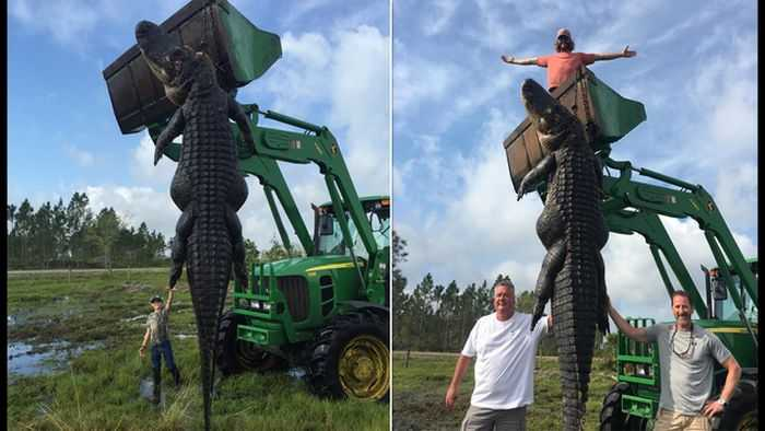Florida Hunters Harvest A 15 Foot Long 800 Pound Alligator That Had Been Eating Their Cattle Pictures 002