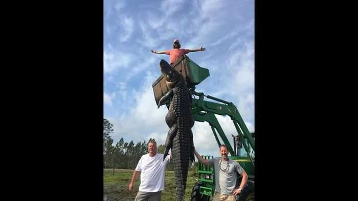 Florida Hunters Harvest A 15 Foot Long 800 Pound Alligator That Had Been Eating Their Cattle Pictures 003