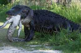 More Florida Alligator Craziness - A Huge Alligator Eating Another Alligator featured