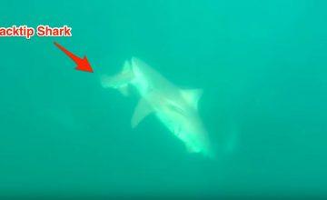 Florida Shark Bites Another Shark In Half featured
