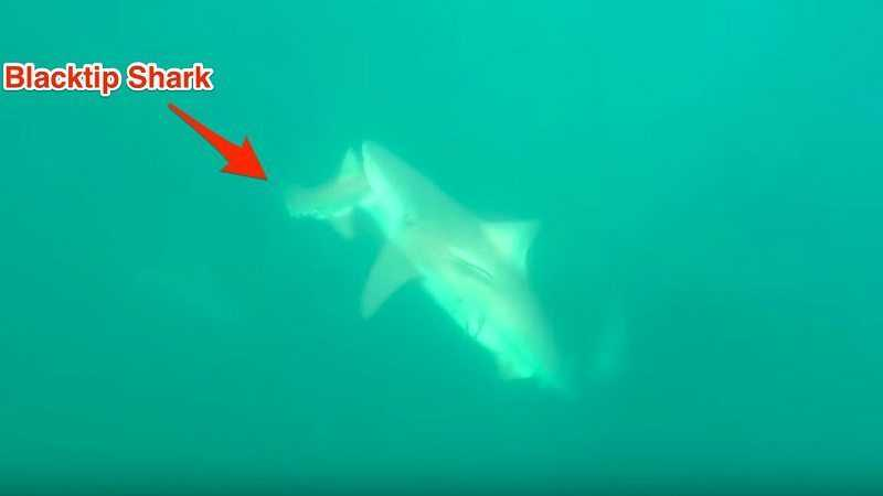 Florida Shark Bites Another Shark In Half featured