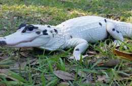 snowball and blizzard Meet The World's First Piebald Alligator And An Extremely Rare Leucistic Alligator In Florida pictures featured