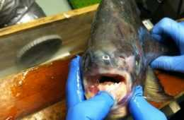 Angler Catches A Pacu On Lake Lake St. Clair In Michigan featured