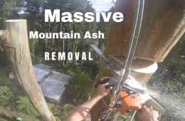 Great Gopro Footage Of A Guy Removing An Ash Tree - 150 Feet In The Air