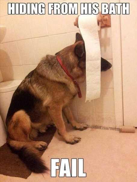 german-shepard-hiding-from-his-bath