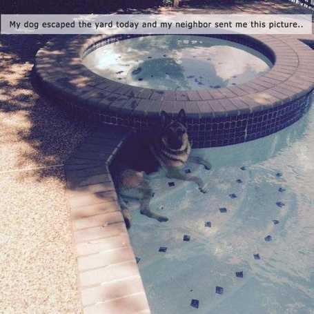 german-shepard-in-pool