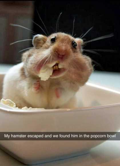 derpy hamster