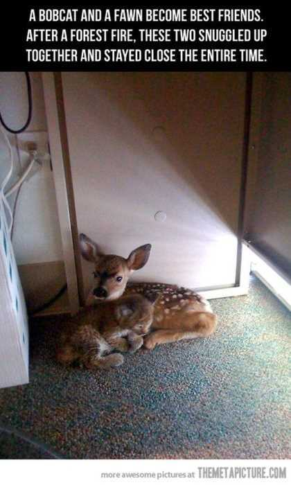 fawn and baby bobcat snuggling