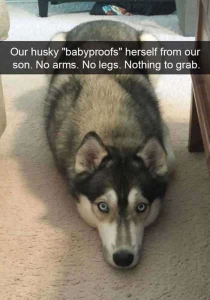 husky laying on the ground funny
