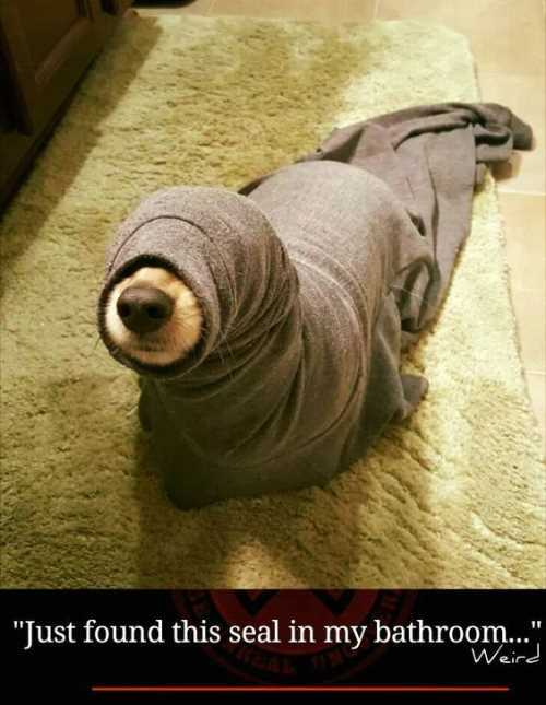 little-dog-stuck-in-a-shirt-looks-like-a-baby-seal