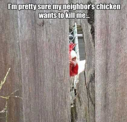 my neighbors chicken wants to kill me