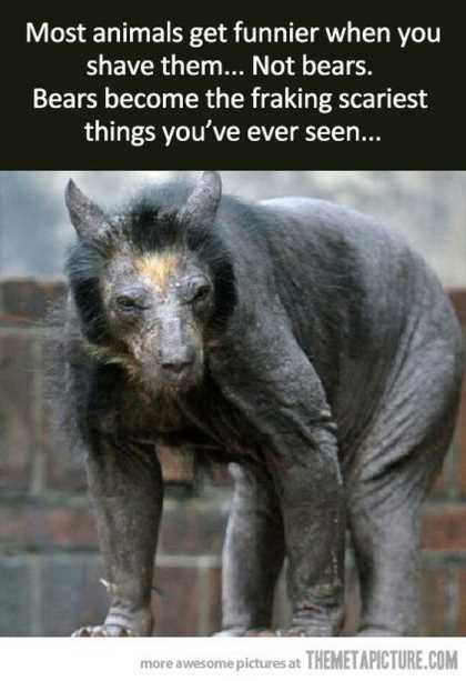 what does a shaved bear look like