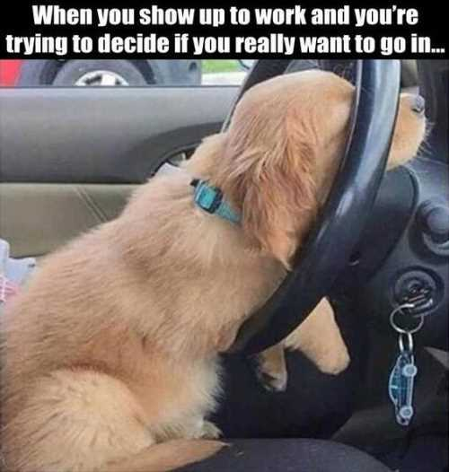 when-you-show-up-to-work-funny-dog-on-steering-wheel