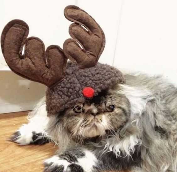 funny christmas cat pictures reindeer hat