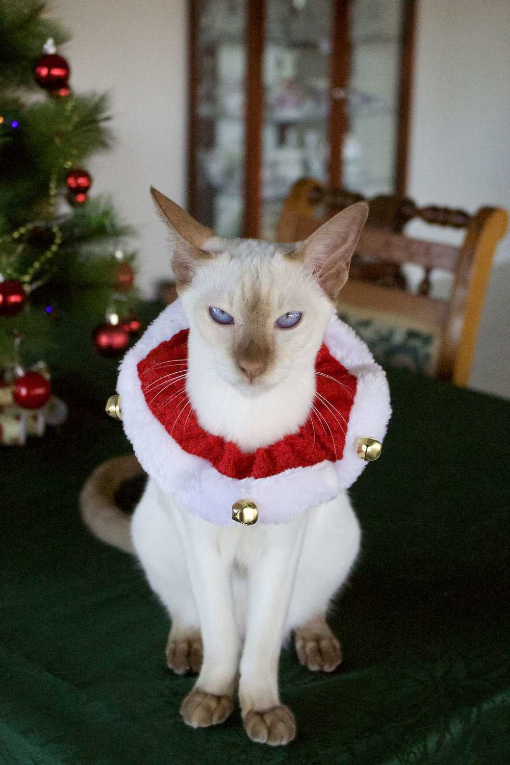 funny christmas cat pictures wiseman collar