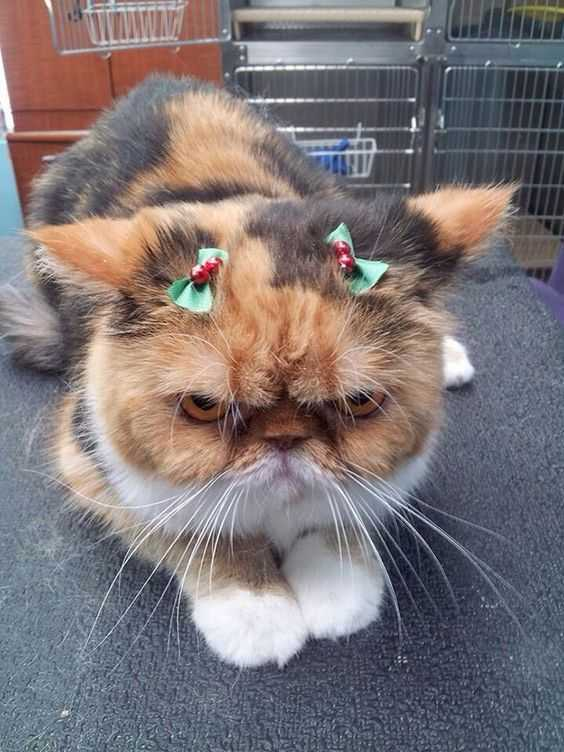 funny christmas cat pictures bows of holly